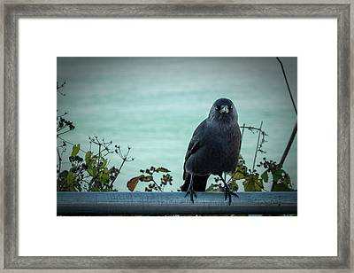 Cornish Crow Framed Print