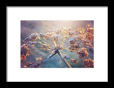 Cow Parsley Framed Prints