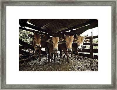 Cows Staring Back Framed Print by Photography By Kenneth Tan calvinistguy