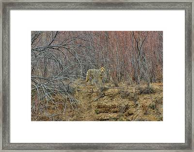 Coyote In The Brush Framed Print