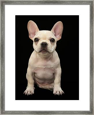 Cream Colored French Bulldog Puppy Framed Print by M Photo