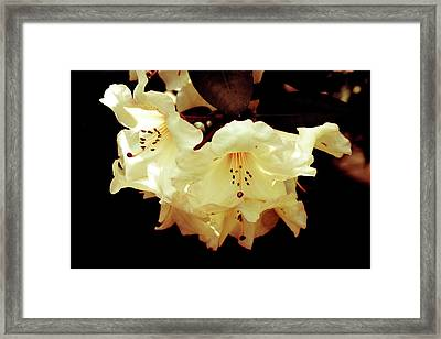 Creamy Rhododendron Framed Print