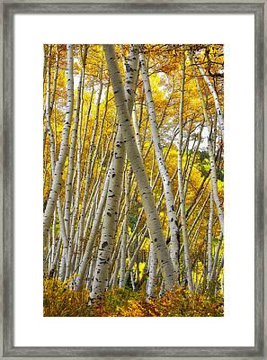 Crossed Aspens Framed Print