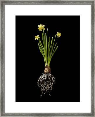 Daffodil Plant On Black Background Framed Print by William Turner