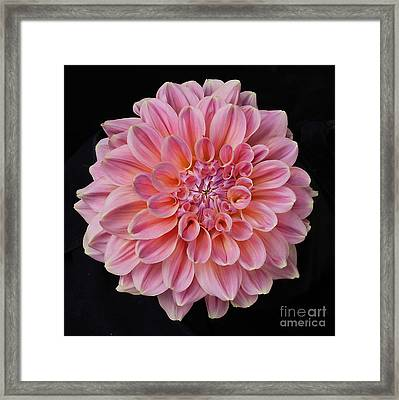 Framed Print featuring the photograph Dahlia  by Ann Jacobson