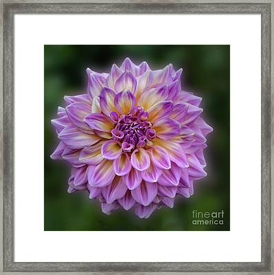 Framed Print featuring the photograph Dahlia 'kidd's Climax' by Ann Jacobson