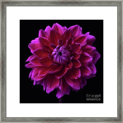Framed Print featuring the photograph Dahlia 'purplicious' by Ann Jacobson
