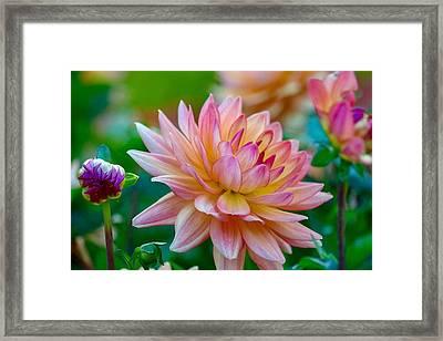 Dahlia Splendor Framed Print