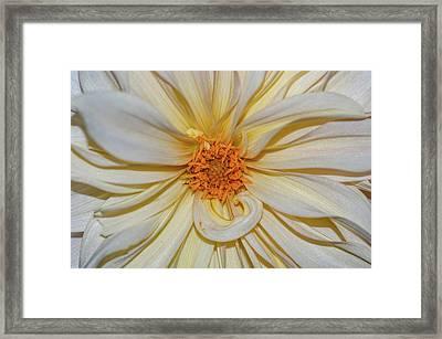Dahlia Summertime Beauty Framed Print