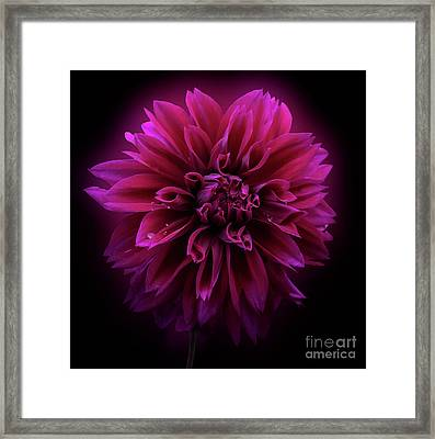 Framed Print featuring the photograph Dahlia 'thomas Edison' by Ann Jacobson