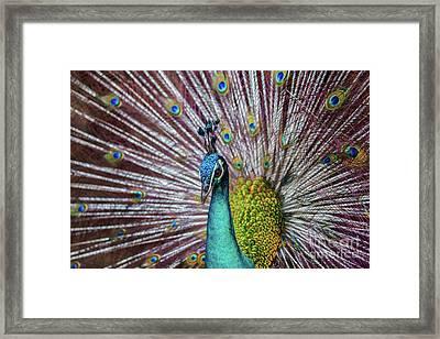 Dancing Indian Peacock  Framed Print