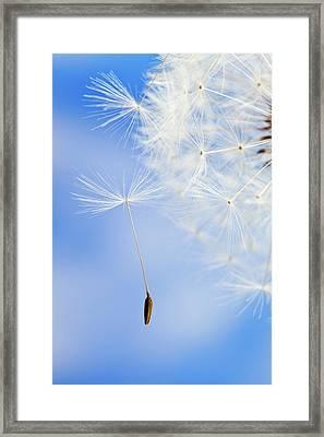 Dandelion Framed Print by Salima Senyavskaya