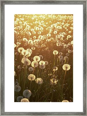 Dandelion Taraxacum Officinale Sunset Framed Print by Stuart Westmorland