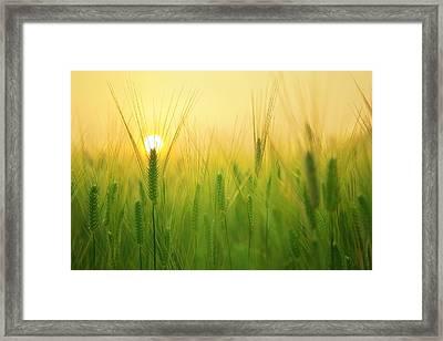 Dawn At The Wheat Field Framed Print