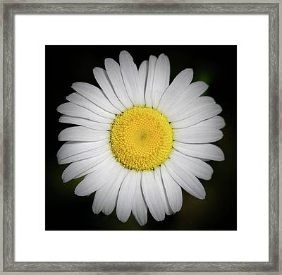 Day's Eye Daisy Framed Print
