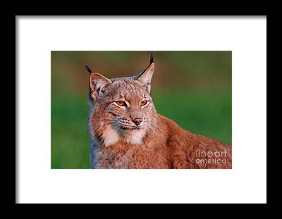 Bobcat Framed Prints