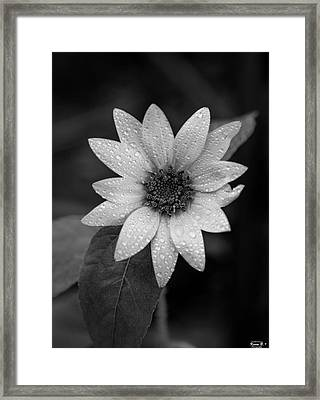 Dewdrops On A Sunflower Framed Print