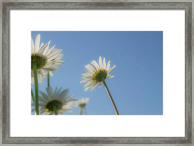Distracted Daisies Framed Print