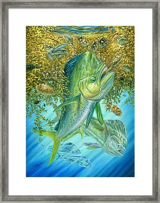 Dorados Hunting In Sargassum Framed Print