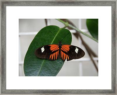 Doris Longwing On Leaf Framed Print