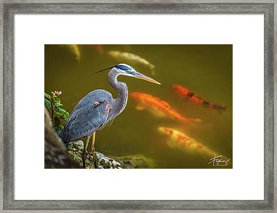 Framed Print featuring the photograph Dreaming Tricolor Heron by Francisco Gomez