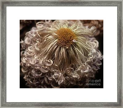 Framed Print featuring the photograph Dried Chrysanthemum 'satin Ribbon' by Ann Jacobson