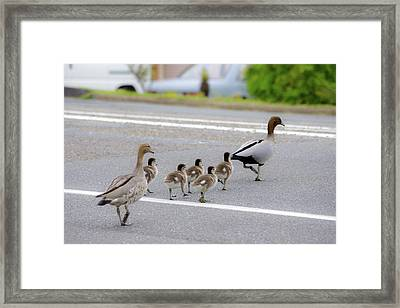 Duck Family Crossing The Road Framed Print by Photo By Tse Hon Ning