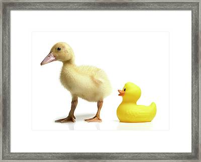 Duckling And Rubber Duck Framed Print by Fuse