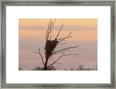 Eagle Family Framed Print