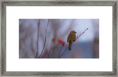 Early Spring Sparrow Framed Print