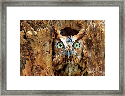 Eastern Screech Owl Perched In A Hole In A Tree Framed Print