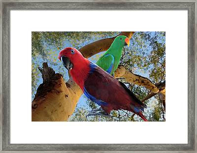 Eclectus Parrots Framed Print