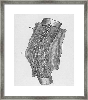 Elbow Diagram Framed Print by Hulton Archive