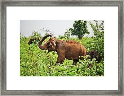 Elephant Framed Print by Basia Asztabska