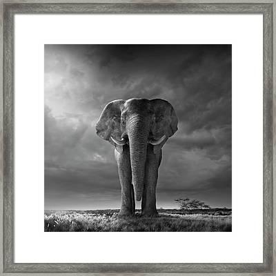 Elephant Walking In Grassy Field Framed Print
