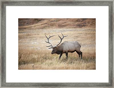 Elk In Yellowstone National Park Framed Print
