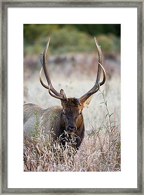 Elk Portrait Framed Print