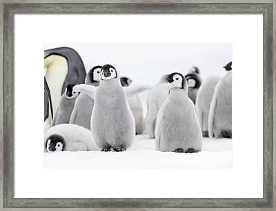 Emperor Penguin Framed Print by Martin Ruegner