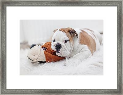 English Bulldog Puppy Framed Print by Carol Yepes