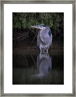Evening Stalk Framed Print