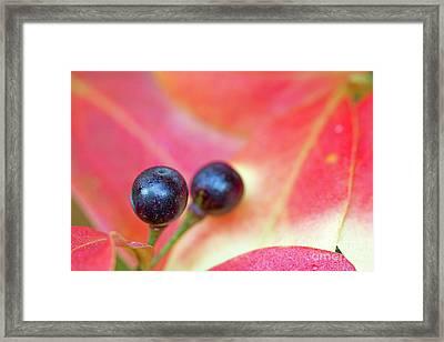 Fall Berries Framed Print by Steven Dillon