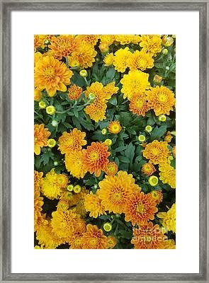 Framed Print featuring the photograph Fall Chrysanthemums Autumn Orange by Rachel Hannah