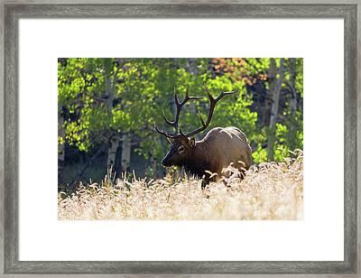 Fall Color Rocky Mountain Bull Elk Framed Print