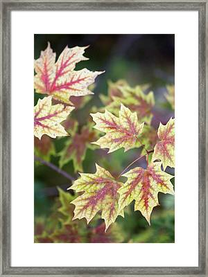 Fall Red And Yellow Leaves 10081501 Framed Print