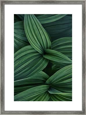 False Hellebore Plant Abstract Framed Print