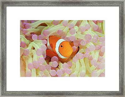 False Or Western Clown Anemonefish Framed Print