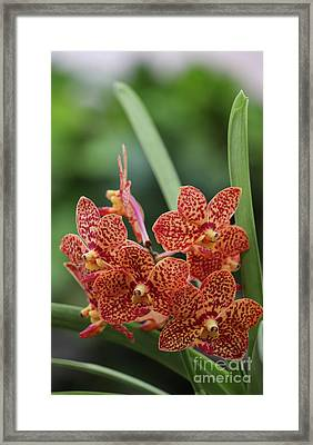 Family Of Orange Spotted Orchids Framed Print