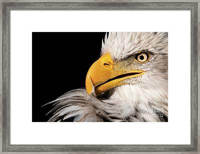 Feather Preening Framed Print