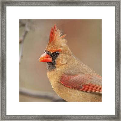 Female Cardinal Portrait Framed Print