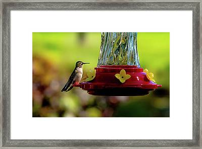 Framed Print featuring the photograph Female Ruby Perched by Onyonet  Photo Studios